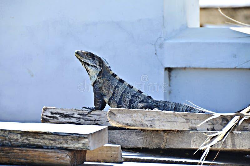 Een Leguaan in San Pedro, Belize stock afbeelding