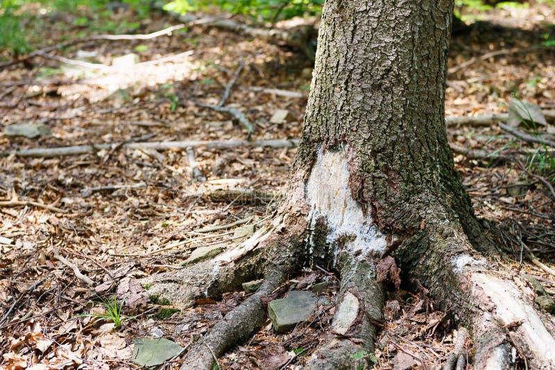 Een lekke hars van de boomstam van beschadigde naaldboom Een dag in het bos, in de zomer royalty-vrije stock fotografie