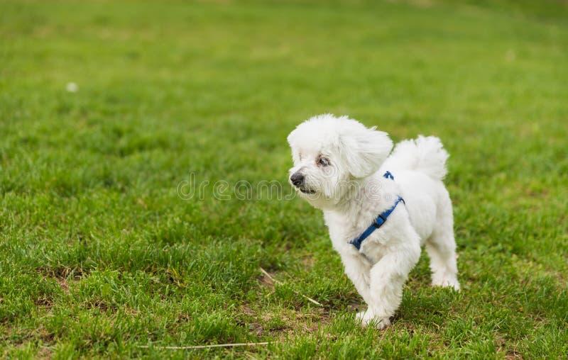 Een leuk, gelukkig puppy die op groen de zomergras lopen royalty-vrije stock fotografie