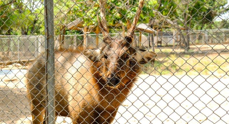 Een leuk Sambar-Hert die zich alleen bevinden stock afbeelding