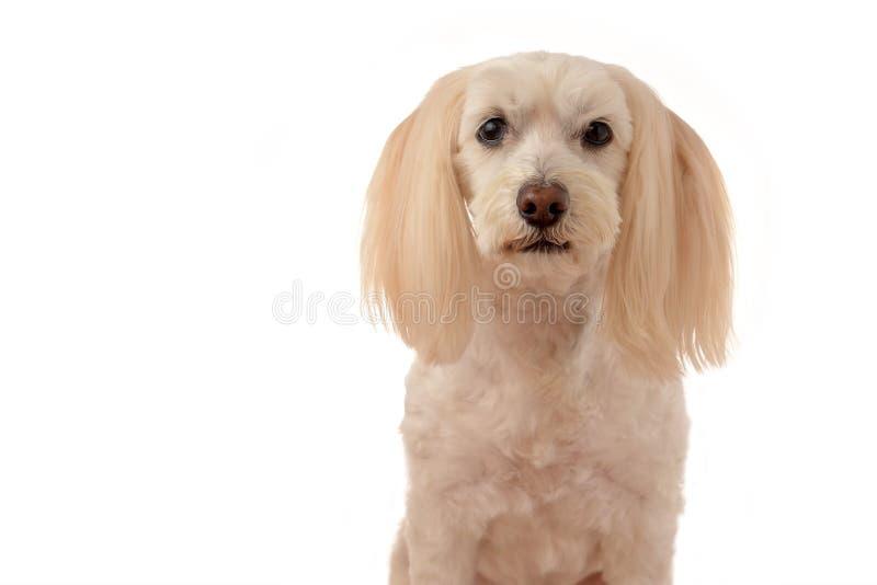 Een leuk wit puppy op een witte achtergrond royalty-vrije stock afbeelding