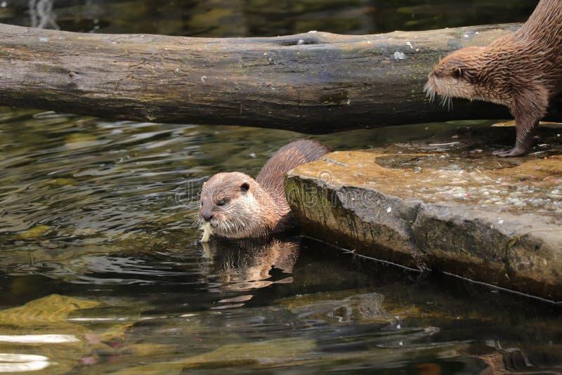 Een leuke Aziatische klein-gekrabde otter die wat spiece van maaltijd op lunch of diner in het water eten Zij heeft bruine huid e royalty-vrije stock afbeeldingen
