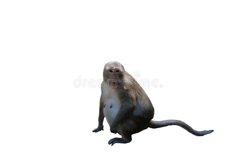 Een leuke bontaap zit Zwangere aap De uitsteeksels van de aap Dieren van Zuidoost-Azië Witte achtergrond Ge?soleerde royalty-vrije stock foto's