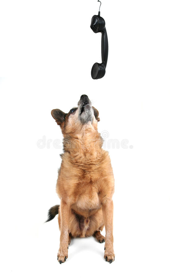 Een leuke chihuahua die op de telefoon spreekt stock fotografie