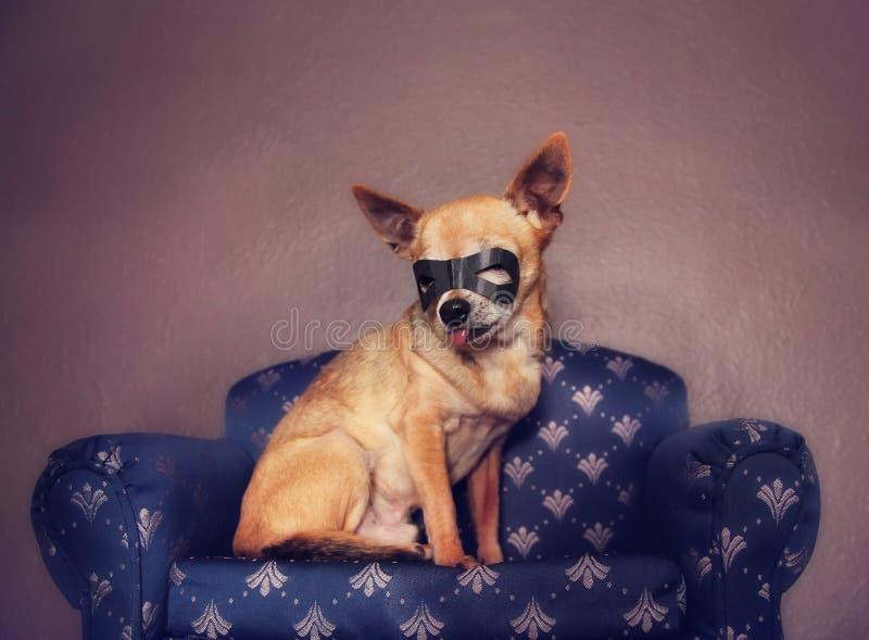Een leuke chihuahua met een masker bij het zitten op een laag royalty-vrije stock afbeelding