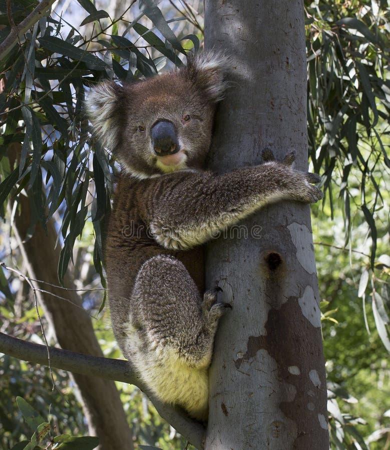 Een leuke grijze Koala royalty-vrije stock fotografie