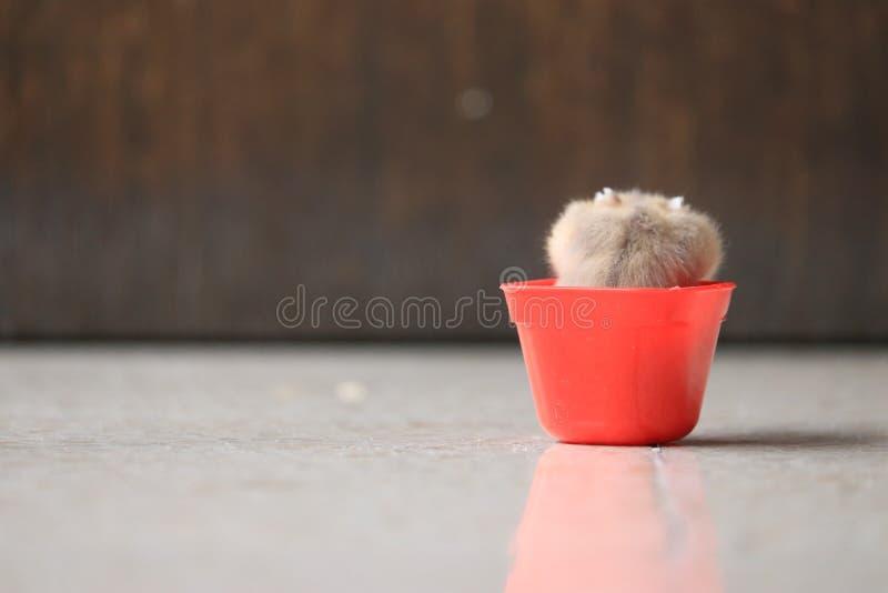 Een leuke hamster in rode sauscontainer royalty-vrije stock afbeeldingen