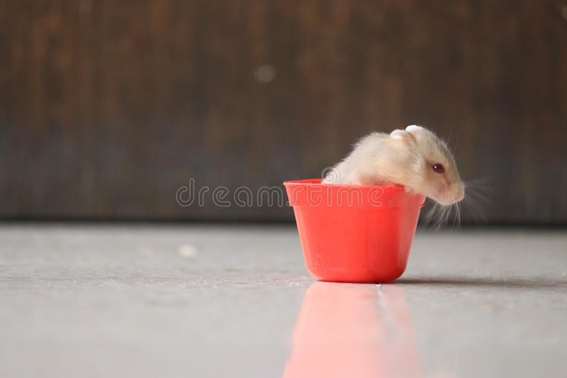 Een leuke hamster in rode sauscontainer stock foto's