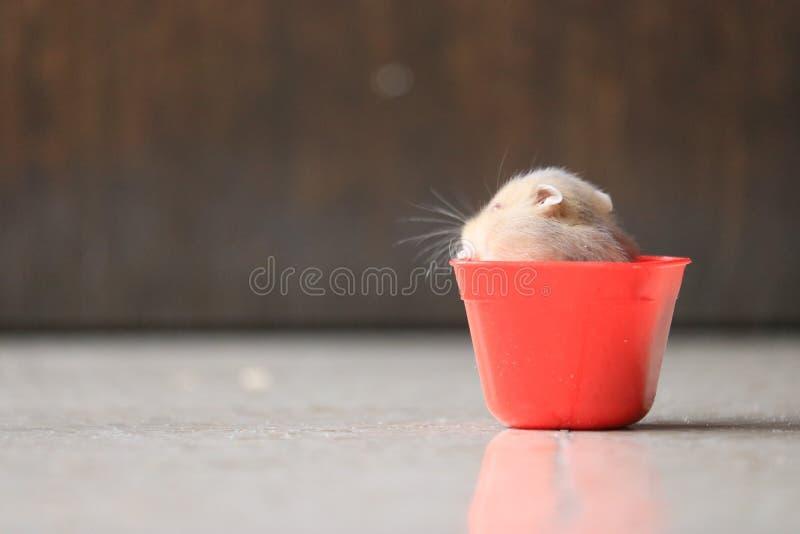 Een leuke hamster in rode sauscontainer stock fotografie