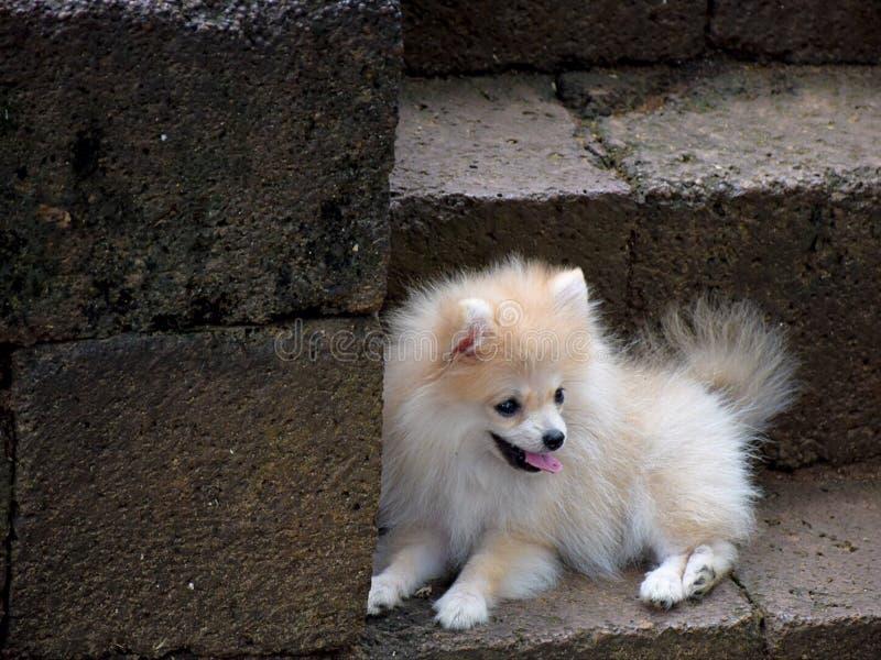 Een leuke kleine Witte hond stock foto