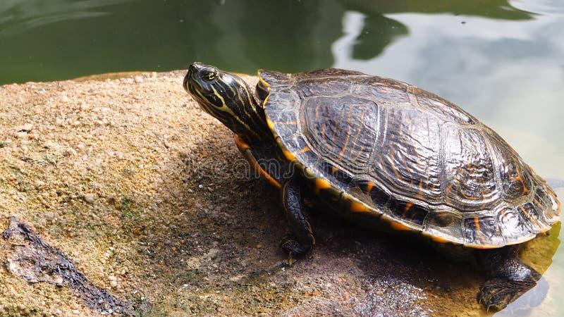 Een leuke luie schildpad op een meer royalty-vrije stock foto's