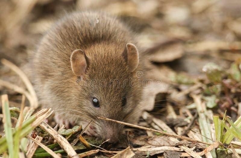 Een leuke norvegicus die van Rattus van de baby wilde Bruine Rat naar voedsel in het kreupelhout zoeken royalty-vrije stock foto