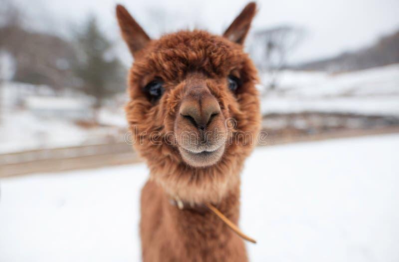 Een leuke, pluizige, bruine Alpaca staart in de camera royalty-vrije stock foto