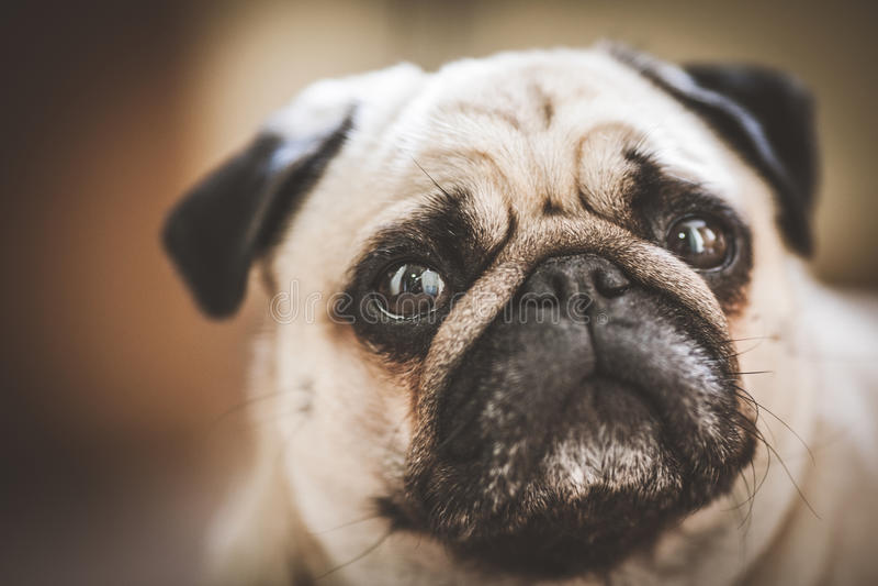 Een leuke Pug hond royalty-vrije stock fotografie