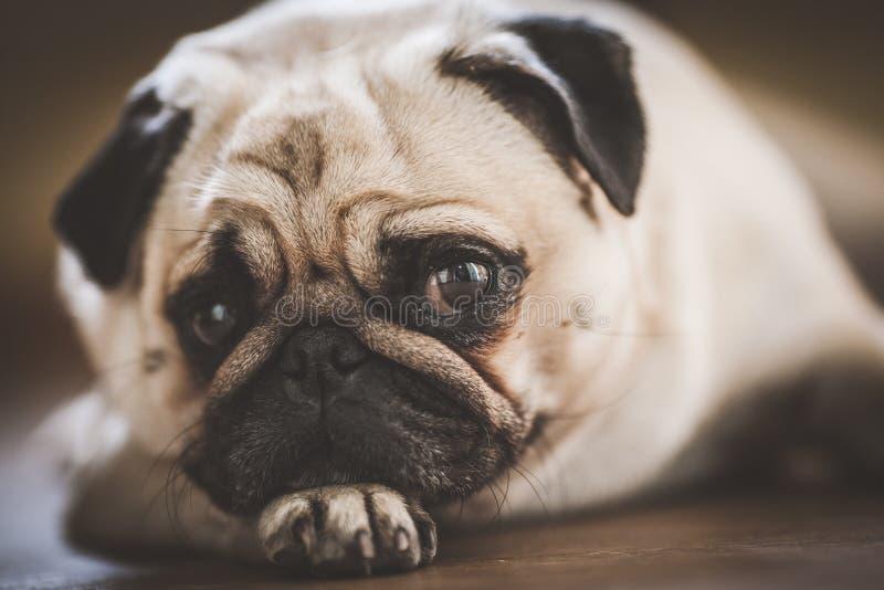 Een leuke Pug hond royalty-vrije stock foto's