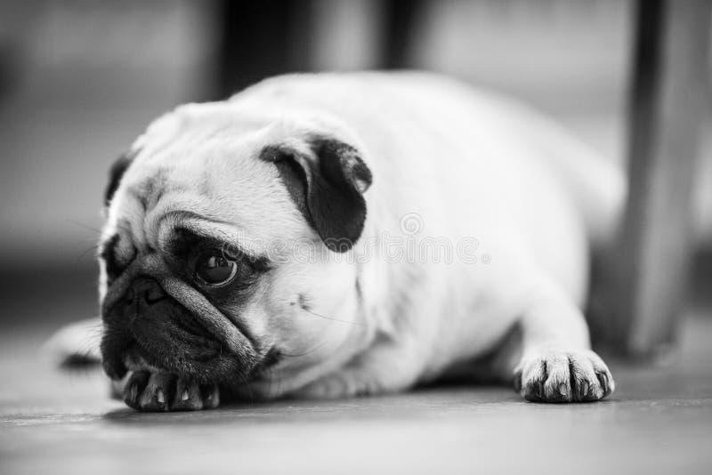 Een leuke Pug hond stock foto