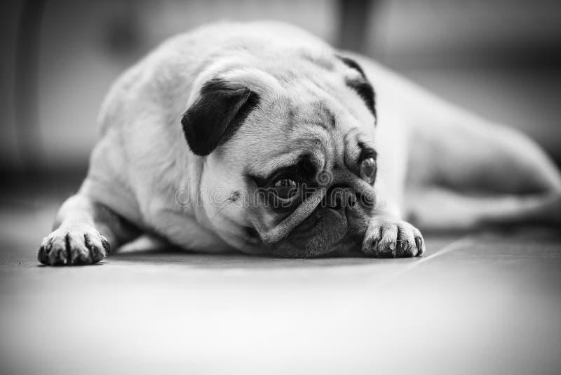 Een leuke Pug hond stock afbeelding