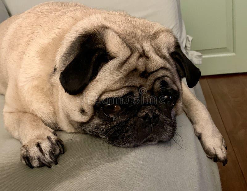 Een Leuke Pug Hond die kijken als voelt hij Droevig stock foto's