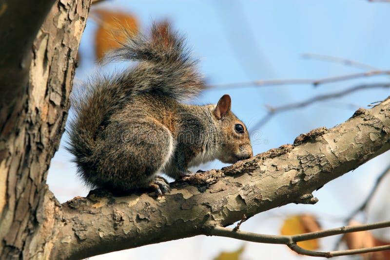 Een leuke squirel in een boom royalty-vrije stock afbeeldingen