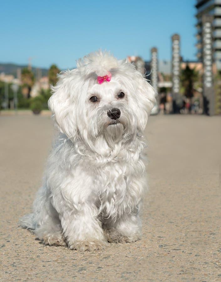 Een leuke vrouwelijke Maltese hond royalty-vrije stock foto's