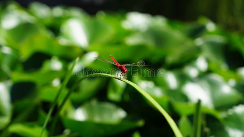 Een libel heeft een rust op een grasblad stock afbeeldingen