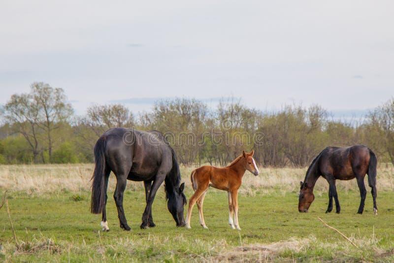 Een lichtbruin veulen en twee donkere paarden weiden in het weiland stock afbeelding