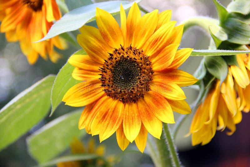 Een lichtgekleurde zomerzonnebloem stock foto's
