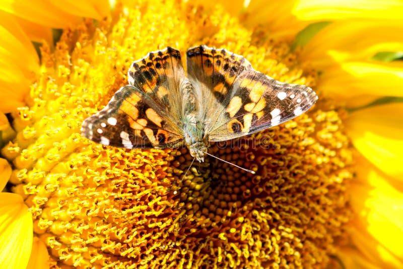 Een lichtgekleurde zomerzonnebloem stock afbeeldingen