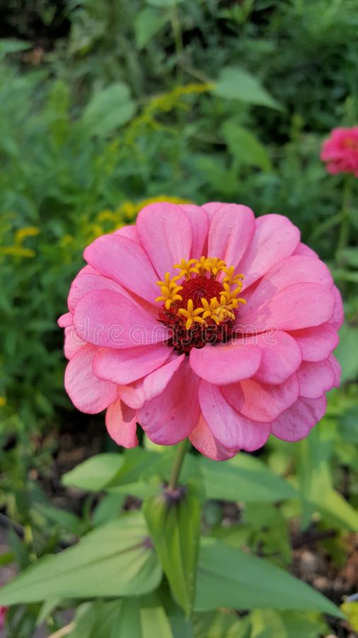 Een lichtrose bloem royalty-vrije stock afbeelding
