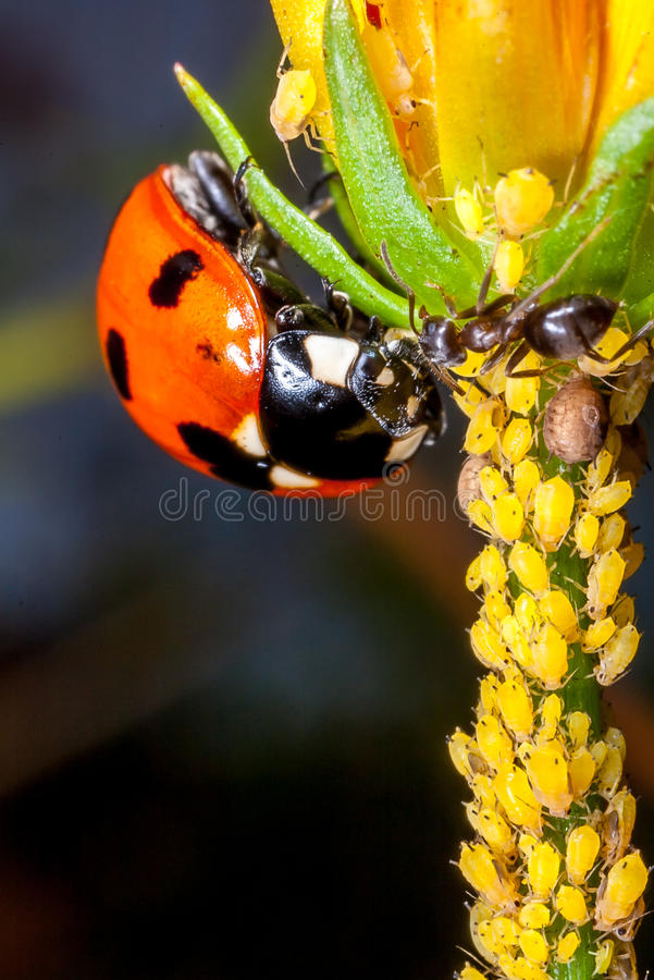 Een lieveheersbeestje, mieren en aphids royalty-vrije stock afbeeldingen