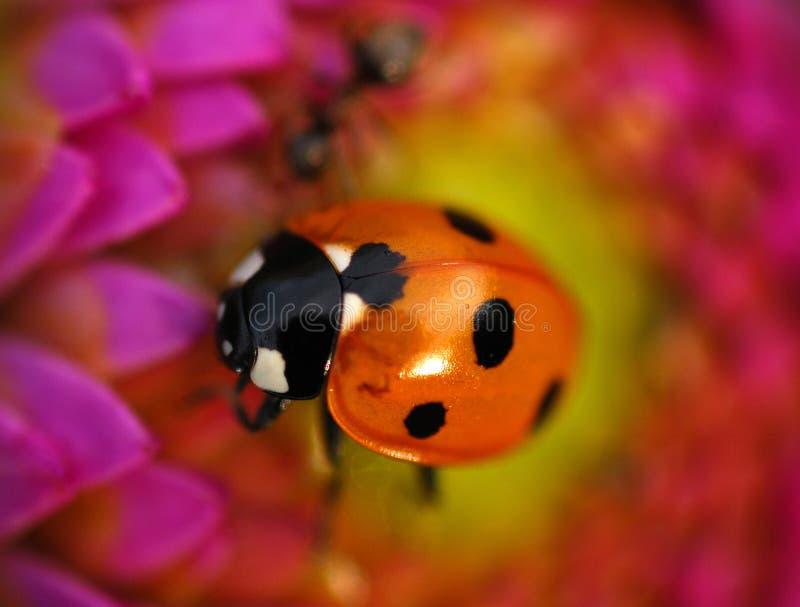 Een lieveheersbeestje op een bloem stock foto