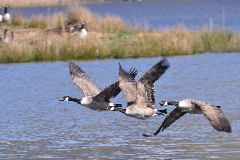 Een lijn van drie Canadese ganzen tijdens de vlucht stock foto