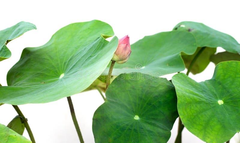 Een lotusbloem achter het verlof wordt verborgen dat stock foto's