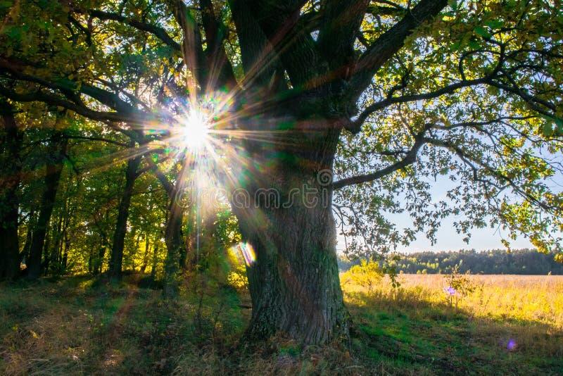 Een machtige oude oude eik, die zich alleen op de rand van een overblijfsel eiken bosje bevinden De gouden herfst, weelderig geel stock afbeelding