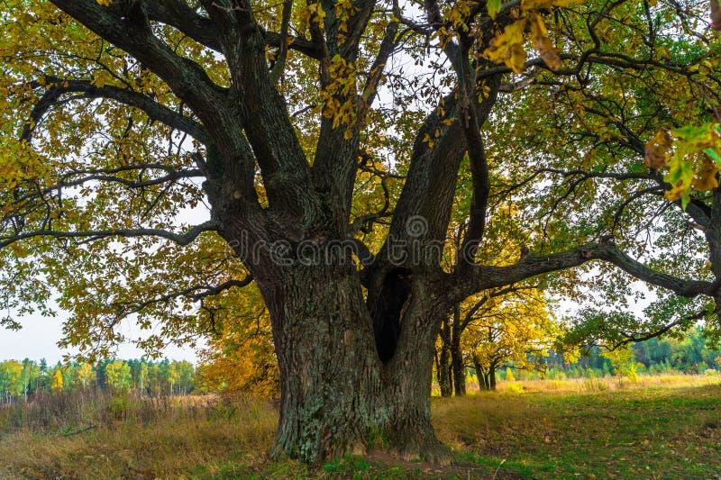 Een machtige oude oude eik, die zich alleen op de rand van een overblijfsel eiken bosje bevinden De gouden herfst, weelderig geel royalty-vrije stock afbeeldingen