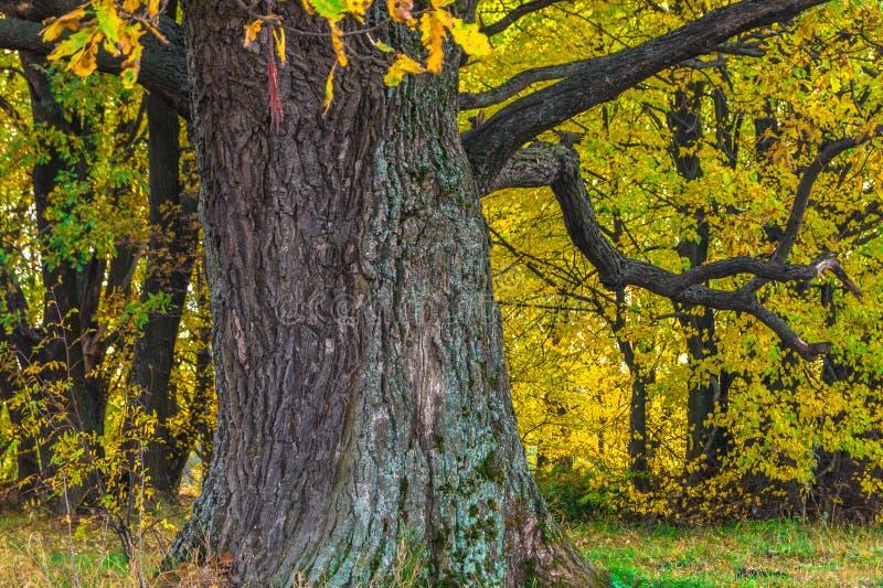 Een machtige oude oude eik, die zich alleen op de rand van een overblijfsel eiken bosje bevinden De gouden herfst, weelderig geel royalty-vrije stock foto's