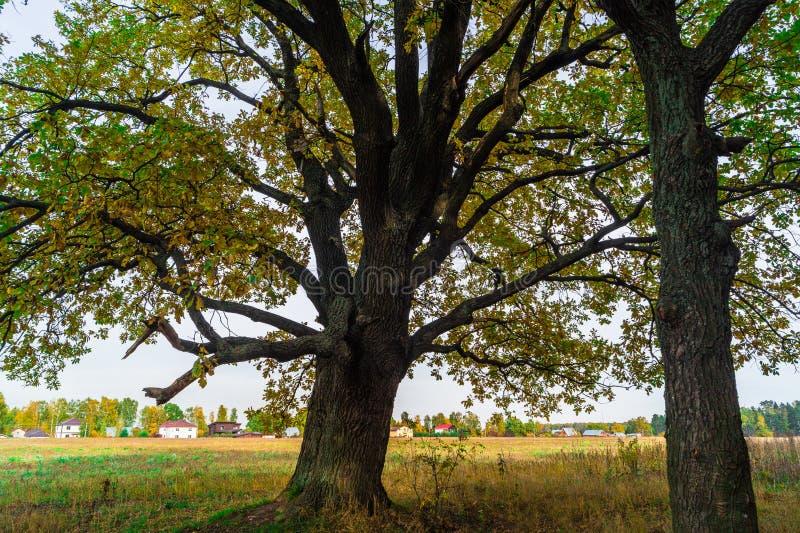 Een machtige oude oude eik, die zich alleen op de rand van een overblijfsel eiken bosje bevinden De gouden herfst, weelderig geel stock afbeeldingen