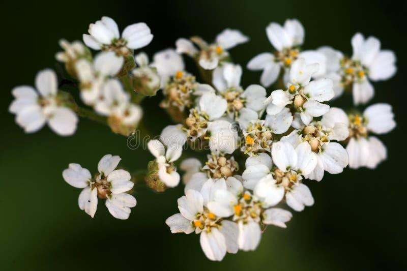 Een macro dichte omhooggaande mening van wit duizendblad bloeit in bloei royalty-vrije stock fotografie
