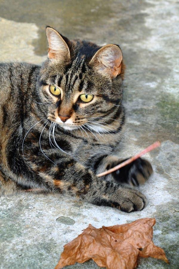 Een macro van een jong gezicht dat van de gestreepte katkat ` s wordt geschoten stock afbeeldingen