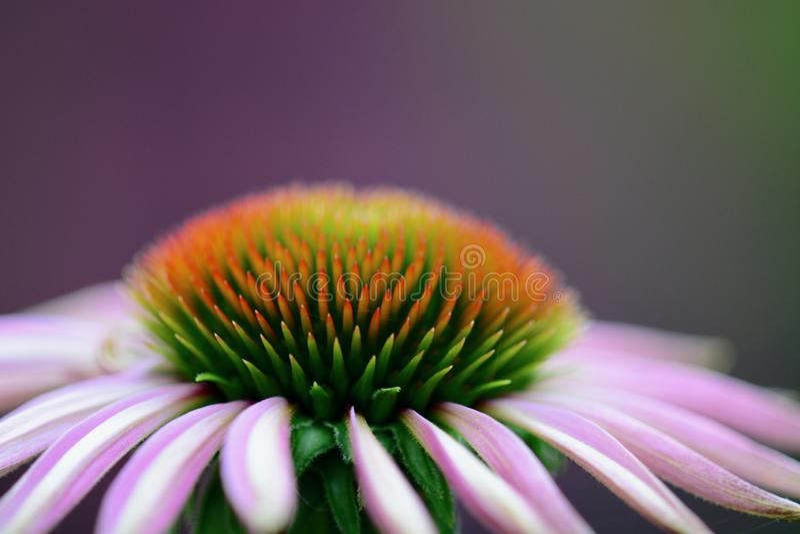Een macrofoto die van een mooie Echinacea-bloem Coneflower, details van het bloemcentrum tonen stock foto