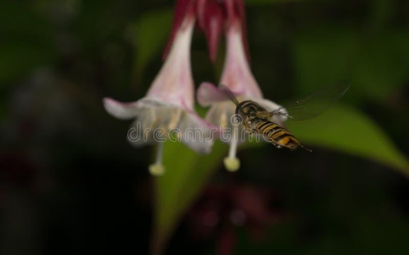 Een macrofoto van een Hoverfly die dichtbij een mooie witte en roze bloem hangen stock afbeelding