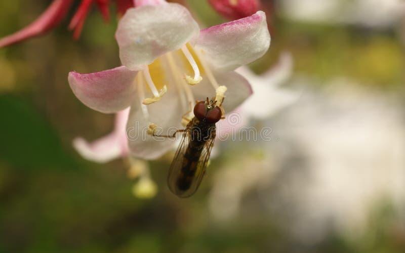 Een macrofoto van een Hoverfly op een mooie witte en roze bloem stock fotografie