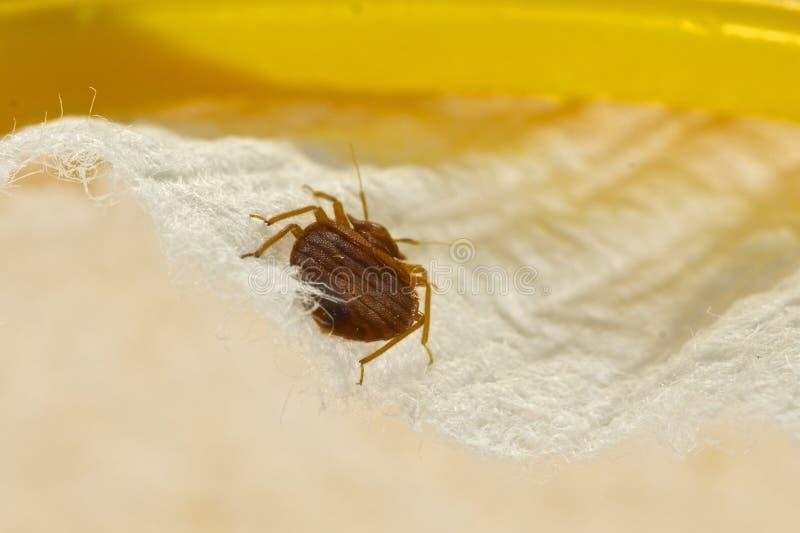 Het Insect van het bed stock foto's
