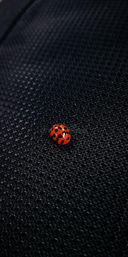 Een macrofoto van een Lieveheersbeestje stock fotografie