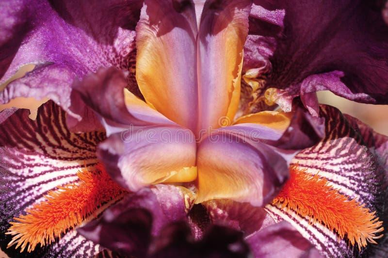 Een macromening van een bloeiende Iris royalty-vrije stock afbeeldingen