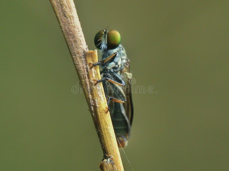 Een macroschot van roversvlieg stock foto