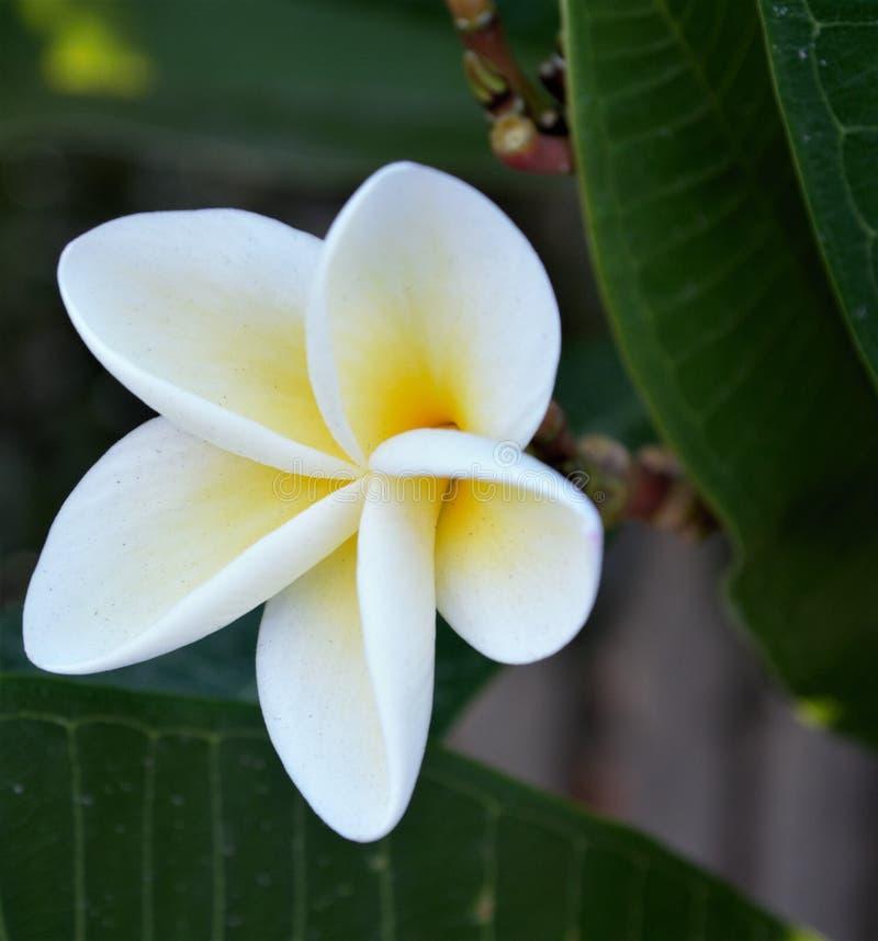 Een macroschot van een tropische Frangipani in bloei stock afbeelding