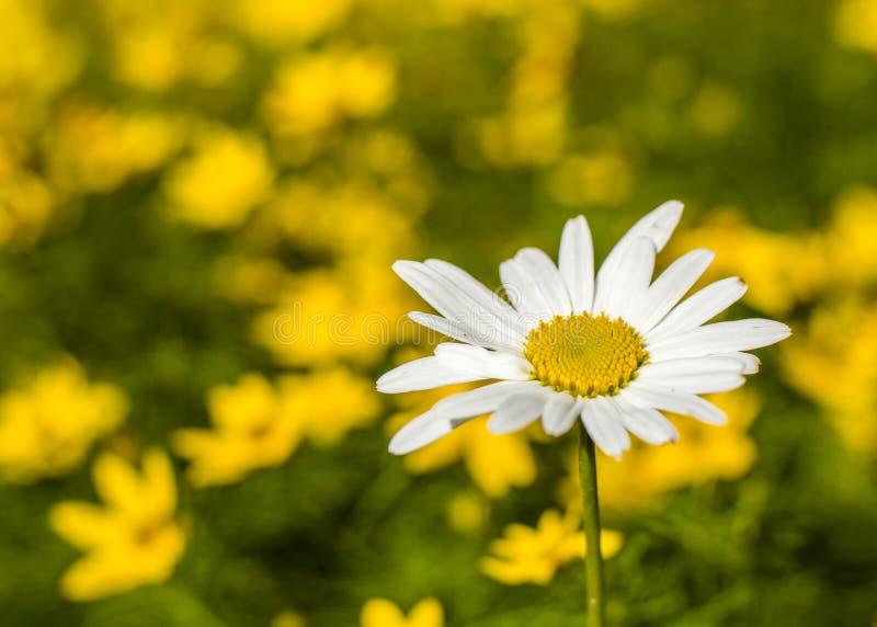 Een madeliefje onder een gebied van gele bloemen royalty-vrije stock fotografie