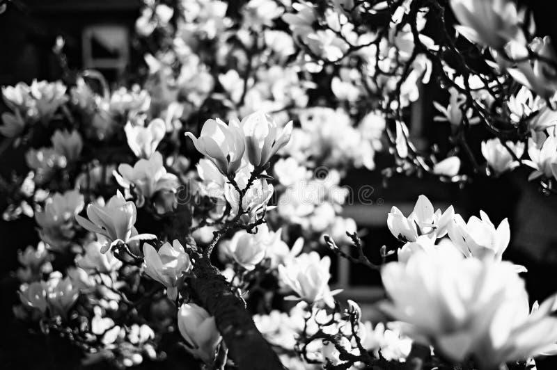Een magnoliaboom stock afbeelding