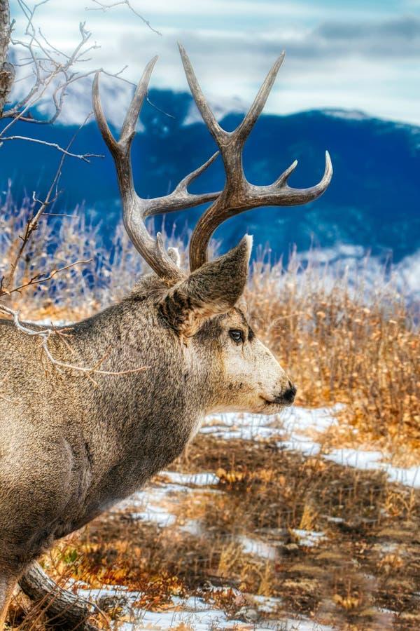 Een majestueus hert van de muilezelbok vóór de bergen met geweitakken rekt royalty-vrije stock foto